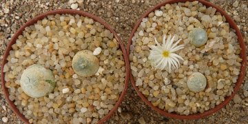 Conophytum hammeri G. Williamson & H. C. Kennedy (1997)