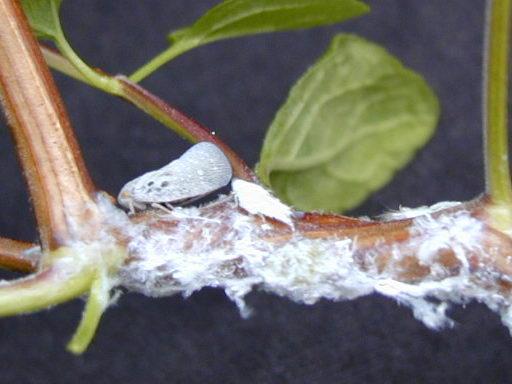 Les parasites et nuisibles articles du cactus francophone - Maladie de l olivier mousse blanche ...