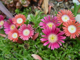 Delosperma dyeri 'Red mountain'