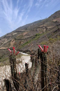 Notes on Borzicactus in northern Peru