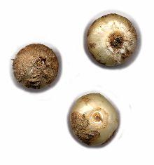 GEISSORHIZA Tulbaghensis Sud-Africain RARE oignon pour collectionneur rare