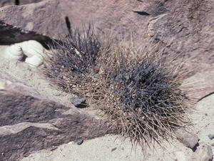 Copiapoa tocopillana