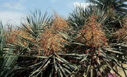 Dracaena draco en fruits