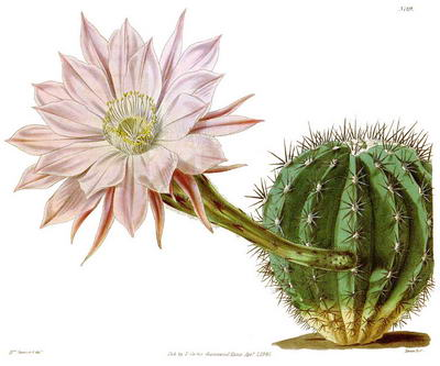 Fig.11 Cereus multiplex Planche 3789 dans le 'Curtis's Botanical Magazine' (1840).