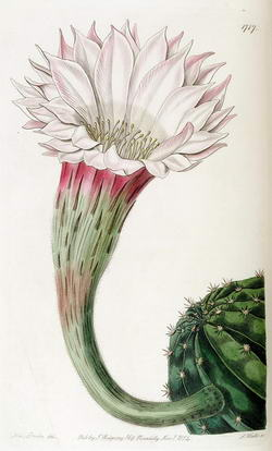 Fig.7 Echinocactus oxygonus. Planche 1717 tirée de l'Edwards's Botanical Register Vol. VII (1835)