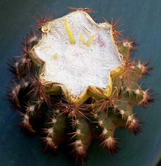 L 39 enfouissement du porte greffe articles du cactus for Porte greffe