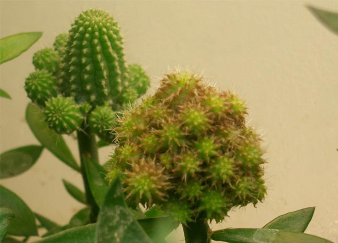 la greffe sur pereskiopsis  articles du cactus francophone