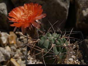 Le Genre Acanthocalycium Articles Du Cactus Francophone