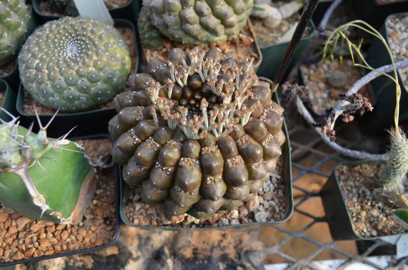 EuphorbiagymnocalycioidescollJMDSC_1286.JPG
