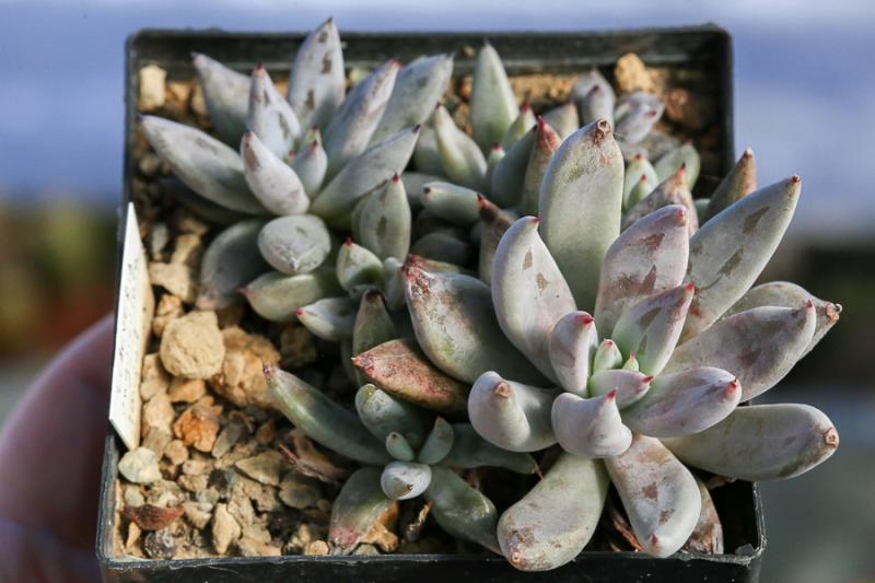 Echeveriaunguiculata.jpg