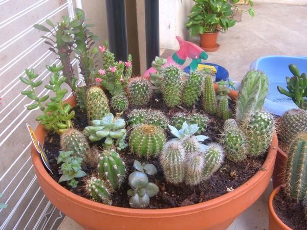 plusieurs cactus dans un m me pot. Black Bedroom Furniture Sets. Home Design Ideas
