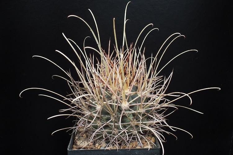 G.uncinatusv.wrightiiSB341.R.jpg