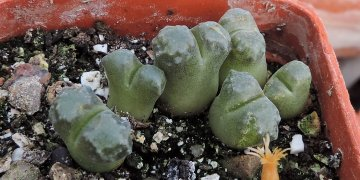 Conophytum buysianum (A. R. Mitchell & S. A. Hammer) S. A. Hammer (1988)