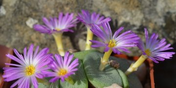 Conophytum crateriforme A. J. Young, C. Rodgerson, A. D. Harrower & S. A. Hammer (2015)