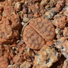 Lithops gracilidelineata subsp. brandbergensis
