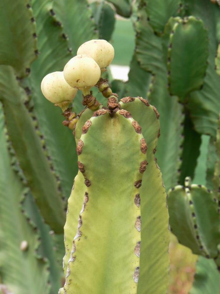 Euphorbiaabyssinicafruits=E.candelabrumvar.erythraeaeP1030546.JPG