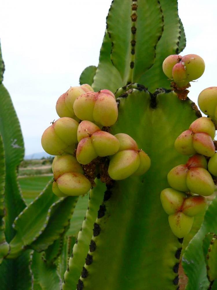 Euphorbiaabyssinica=E.candelabrumvar.erythraeaefr.P1250324.JPG