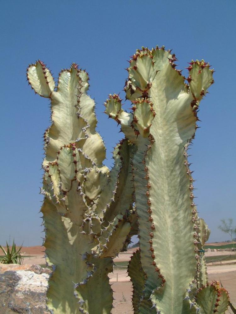 EuphorbiaerythraeaouammakvariegataDSCF1362.JPG