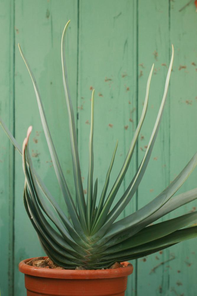 Aloeplica2.jpg