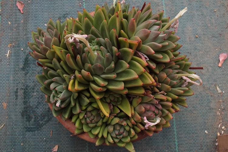 E.agavoidesaff.R1.jpg