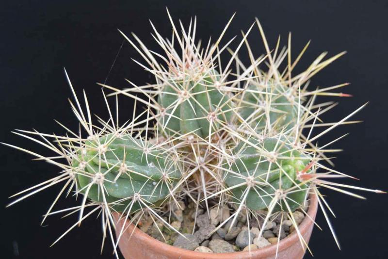 Echinocereusmaritimus-DSC_0573copie.jpg