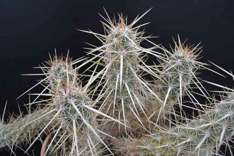 Echinocereusbrandegeei-DSC_0578copie.jpg