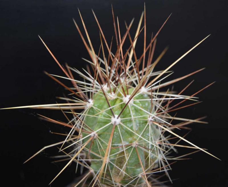 Echinocereusconglomeratus-DSC_0581copie.jpg