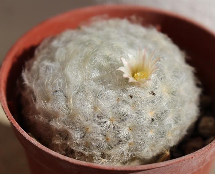 Mammillaria_plumosa.JPG