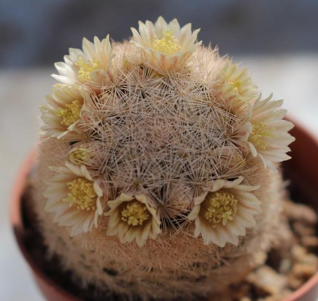Mammillaria_magallanii.JPG