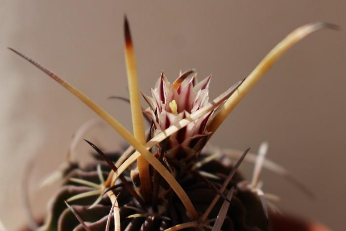 Echinofossulocactus_lamellosus.JPG