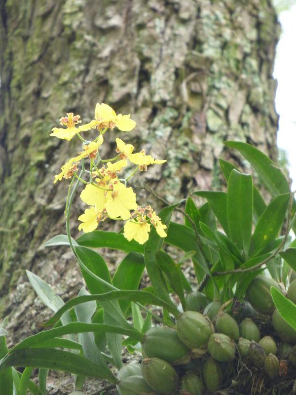 P1030056_ETY_37_orchidee.JPG