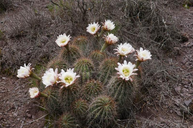 ETY-038-Echinopsis-schict.jpg
