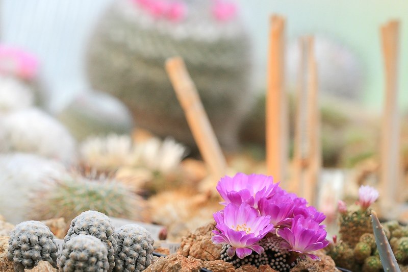 Mammillarialuethyi3.jpg
