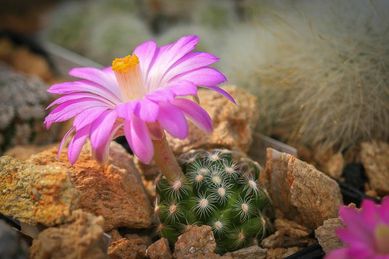 Mammillariasaboaessp.roczekii2.jpg