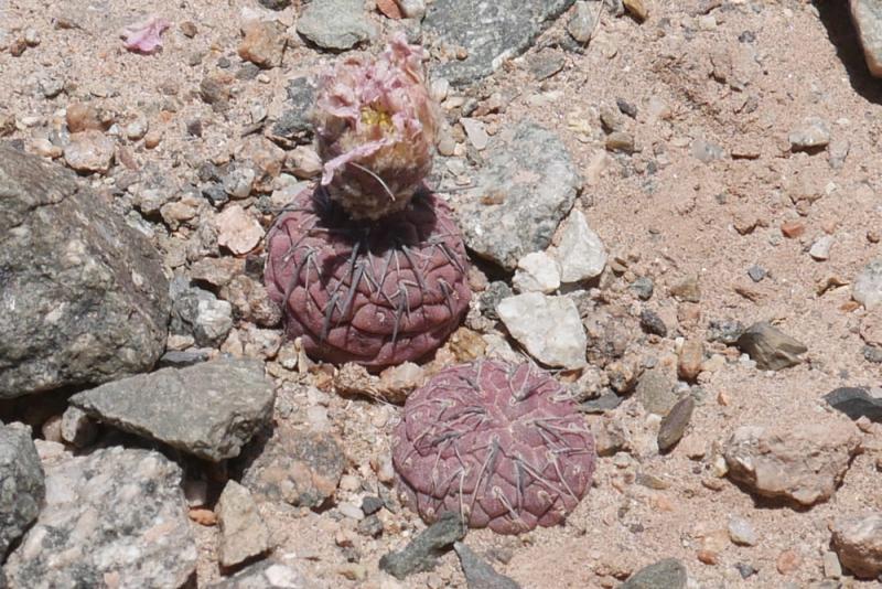 ETY-079-Tephrocactus-geom2.jpg
