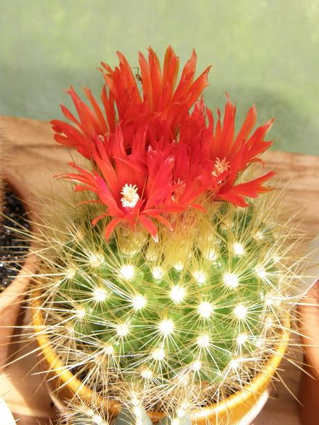 Parodiapenicillata6.jpg