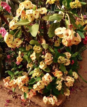 Euphorbiathaihybride.jpg