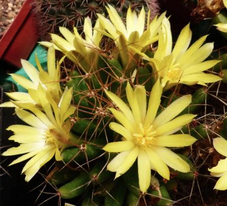 Mammillariasphaerica.jpg