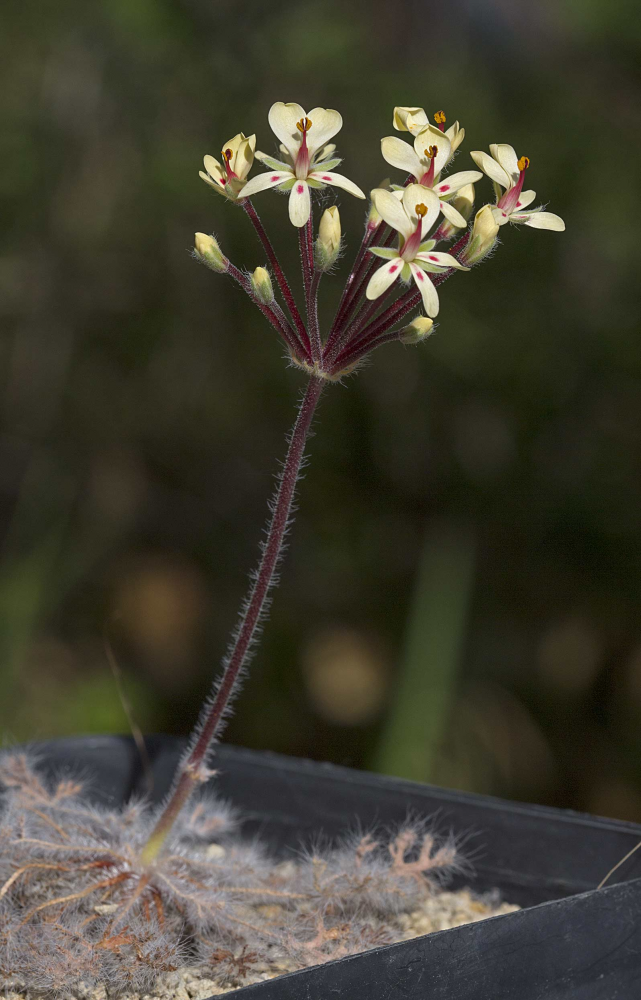 Pelargoniumcaroliihenrici2004172.jpg