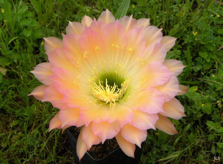TrichocereusPure3_opt.jpg