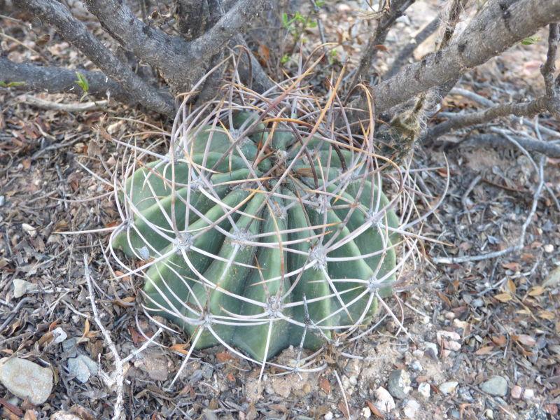 P1050197_ETY_88_Echinopsis_leucantha.JPG