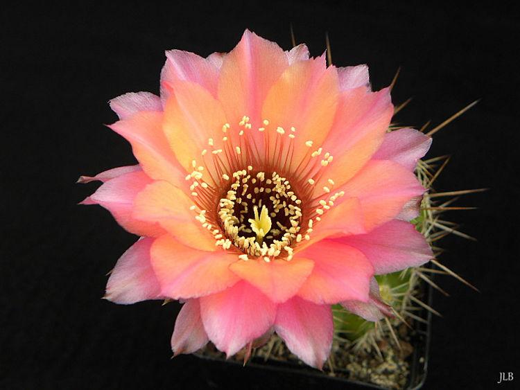 EchinopsisJLB2012_opt1.jpg