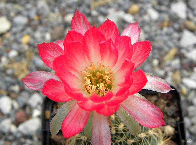 EchinopsisTwoTones2_opt.jpg