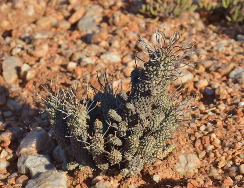 2003Euphorbiafiliflora.jpg