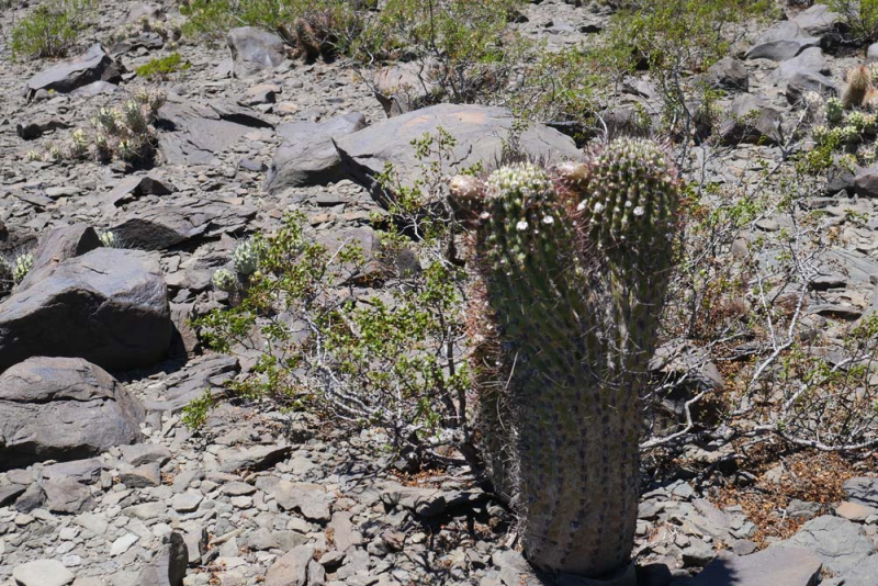 ETY-104-10-Echinopsis-leuca.jpg