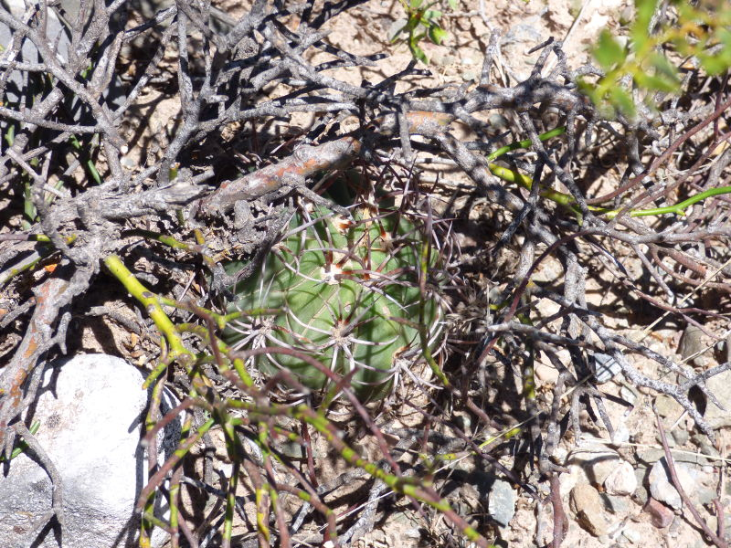 P1060038_ETY_107_Echinopsis_leucantha.JPG