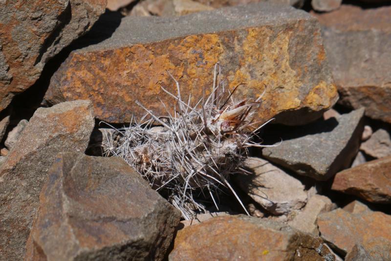 5-ETY-113-Austrocactus-ferr.jpg