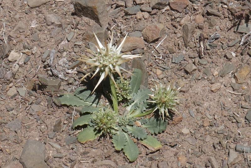6-ETY-113-Plante-Calycera-h.jpg
