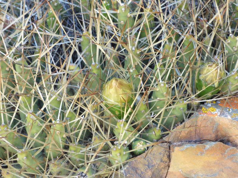 P1060279_ETY_114_Maihueniopsis_glomerata.JPG