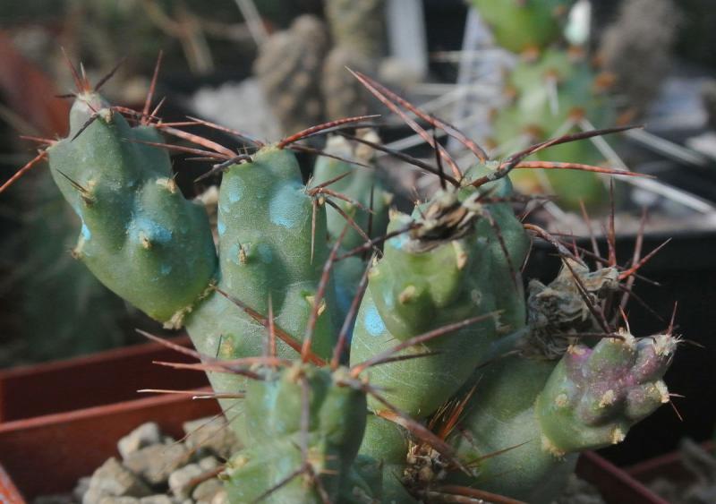tephrocactus_rossianus.jpg
